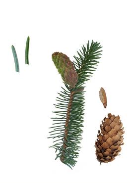 Pinaceae biotop hede nåleskov biotop særlige forhold almindeligt