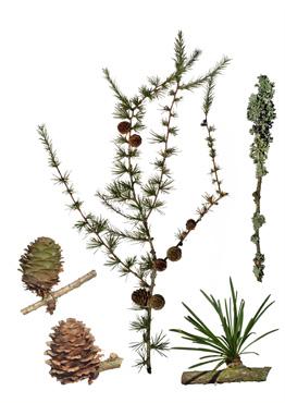 Granfamilien pinaceae biotop hede nåleskov kort beskrivelse japansk